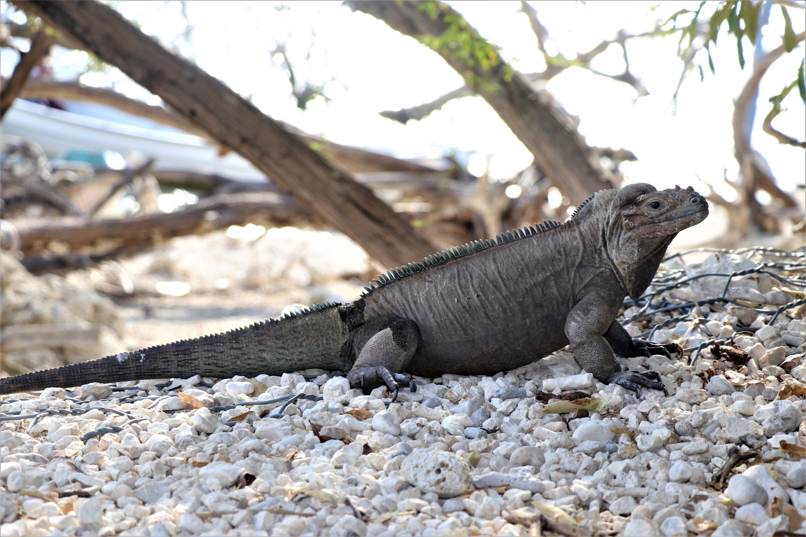 La iguana Rinoceronte, endémica de esta isla Española.