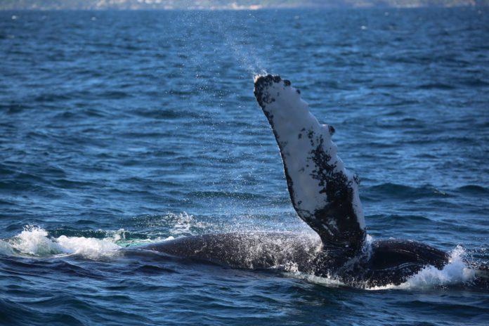 Observación de ballenas en la Bahía de Samaná en República Dominicana